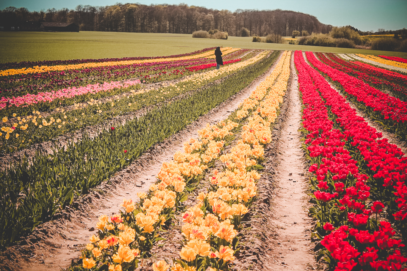 full picture of the tulip fields